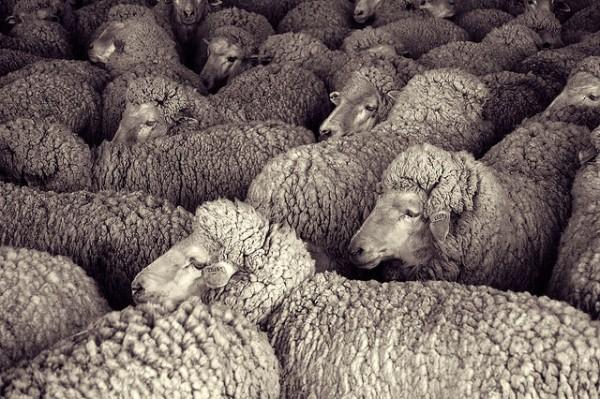 Sheep Waiting to Be Shorn (Photo: Andy Farnsworth, CC)