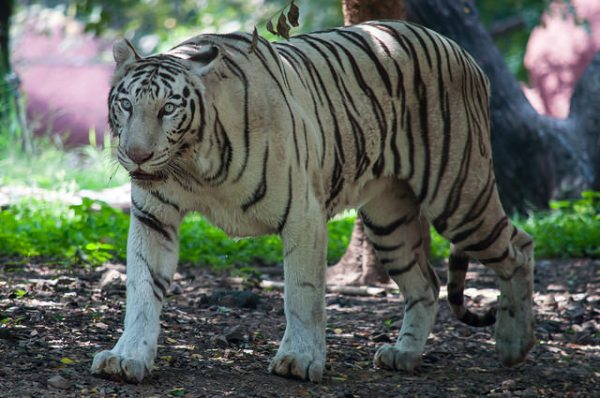 Margio, the protagonist of Man Tiger, is inhabited by white female tiger. (Photo: Subash BGK, CC Licence)