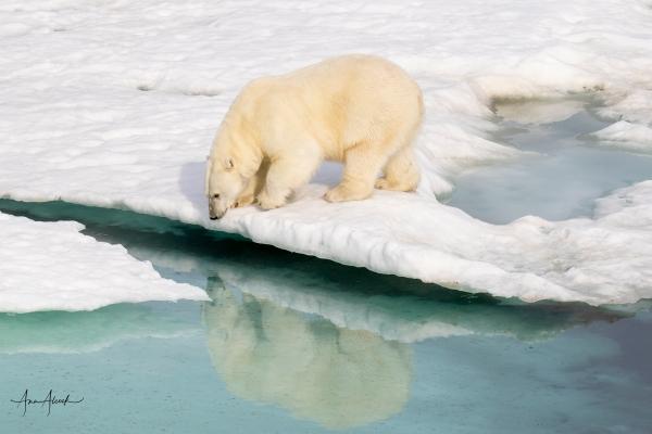 Arctic-4654